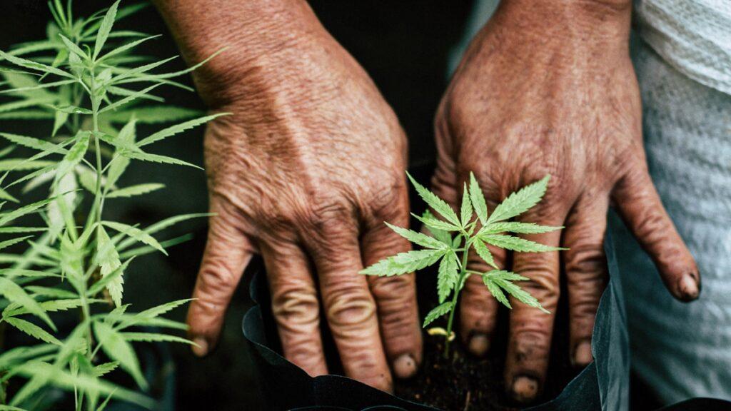 human-cannabis relationship